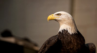 Eagle Days, Rock Island, IL